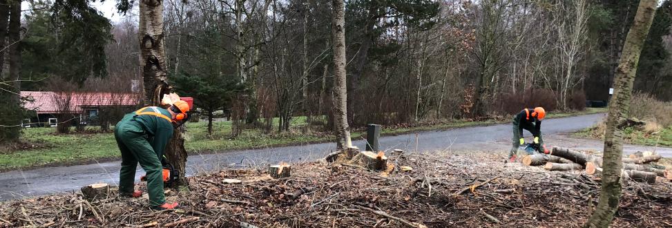 Træfældning Holbæk, Odsherred, træer bliver skåret op